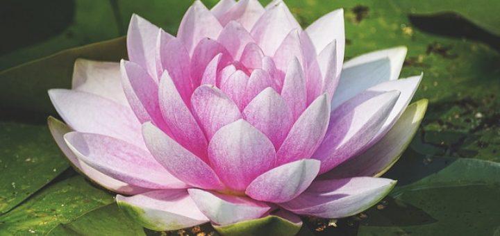 Wholeness Wasserlilie