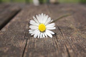 Zufriedenheit - Gänseblümchen auf Holzplanke